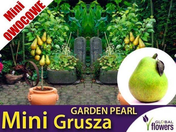 DRZEWKO MINI OWOCOWE Mini Grusza 'Garden Pearl' (Pyrus) SADZONKA