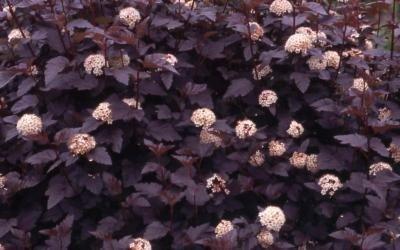 Pęcherznica o purpurowych liściach
