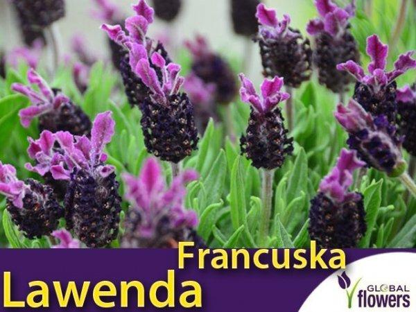 Lawenda francuska (Lavandula stoechas)