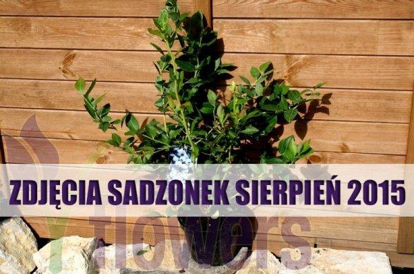 Owocujące sadzonki borówki amerykańskiej
