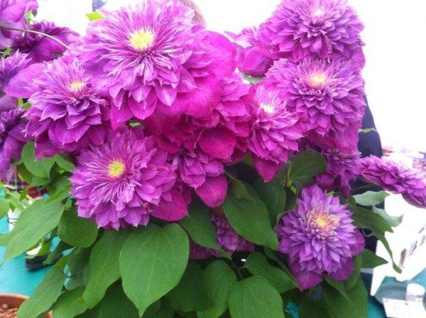 Pnące rośliny na ogród