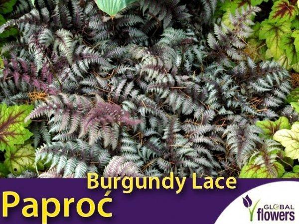 Paproć Wietlica 'Burgundy Lace' (Athyrium nipponicum) Sadzonka