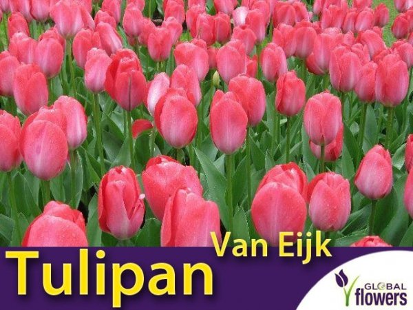 tulipan różowy Van Eijk