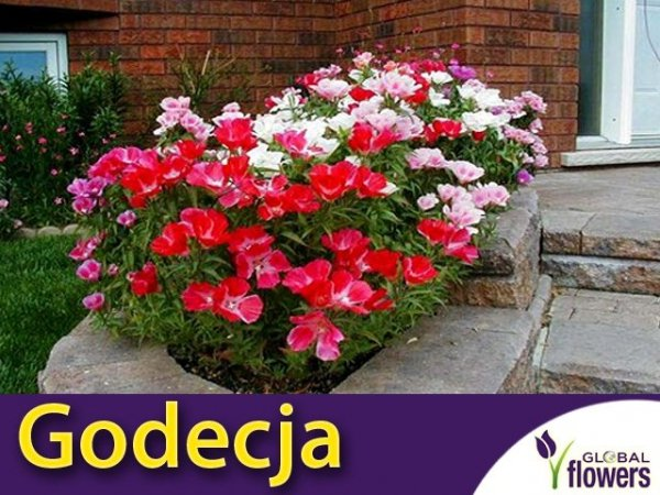 Godecja Azalia, mieszanka (Godetia grandiflora) 1g