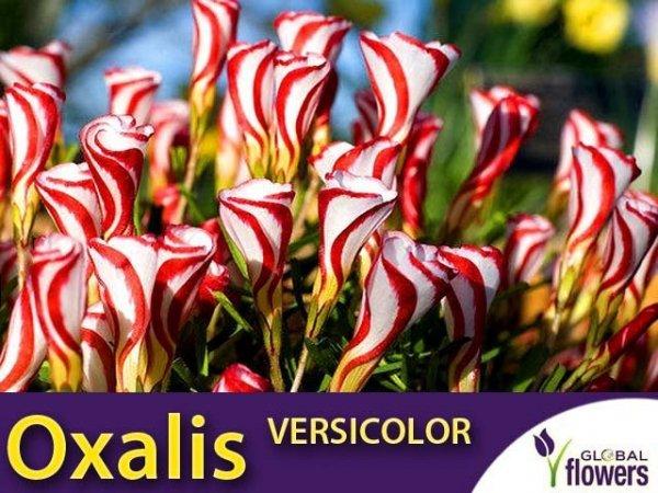 Szczawik OXALIS VERSICOLOR roślina jak lizak