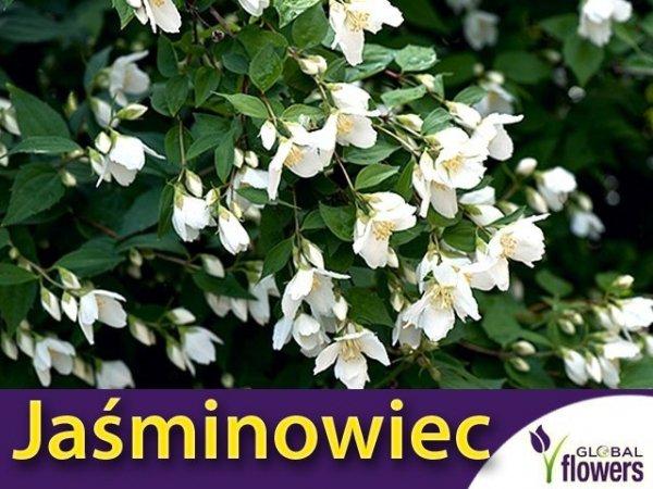 Jaśminowiec 'Lemoinei' (Philadelphus 'Lemoinei') sadzonka