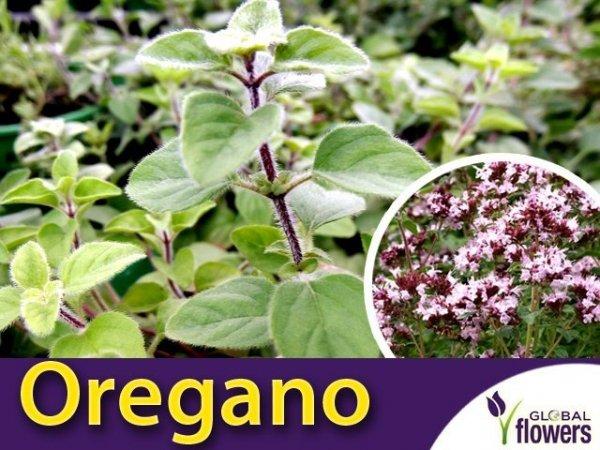 Oregano 'Vulgare' (Origanum) Sadzonka
