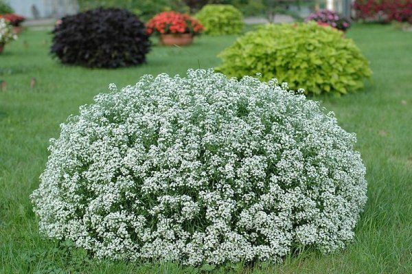 Lobularia 'Snow Princess' sadzonki