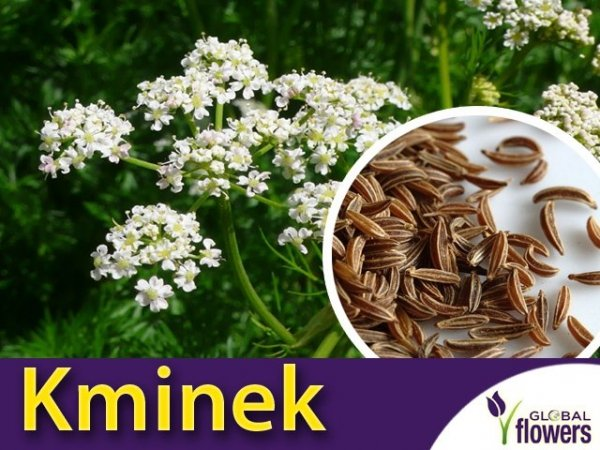 Kminek Kończewicki (Carum Carvi) nasiona