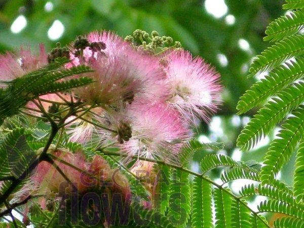 Jedwabne Drzewko