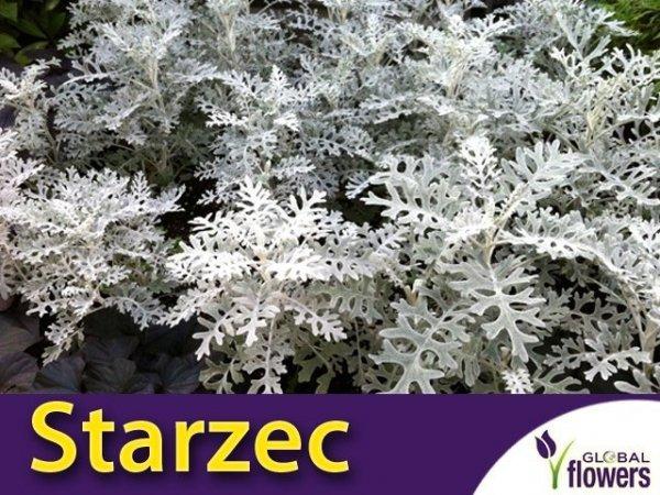 Starzec Popielny  Mrozy (Cineraria maritima) 0,2g