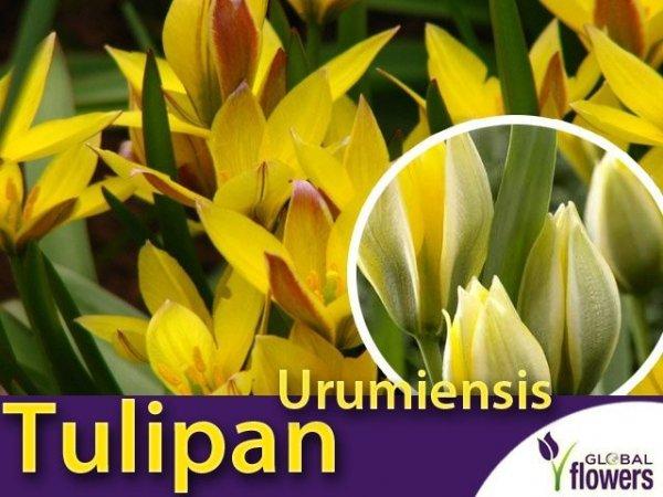 Tulipan botaniczny 'Urumiensis' wielokwiatowy (Tulipa) CEBULKI
