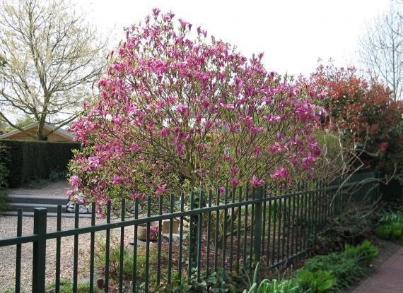 Magnolia - krzew cudownie kwitnący wiosną