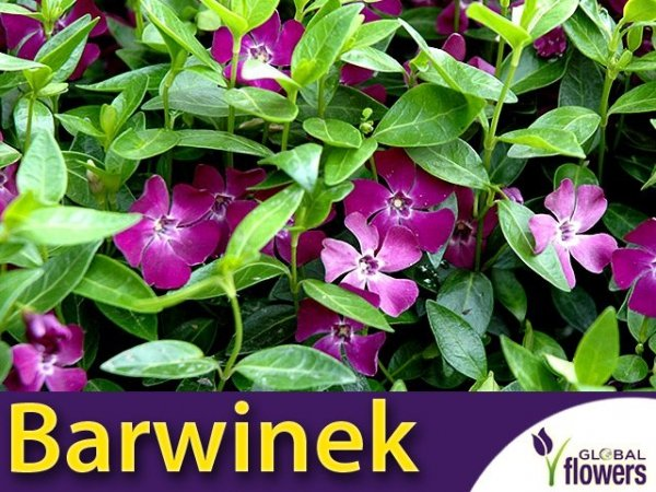 Barwinek pospolity 'Atropurpurea' (Vinca minor) Sadzonka