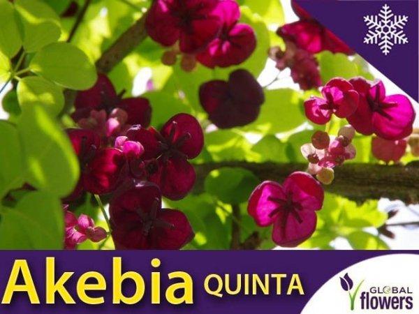 Akebia Czekoladowe Pnącze Sadzonka (Akebia quinata)
