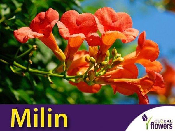 Milin Amerykański Flamenco (Campsis radicans) Sadzonka