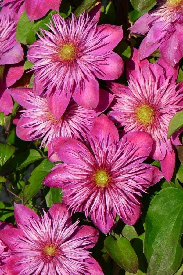 Wytrzymały clematis o różowych kwiatach