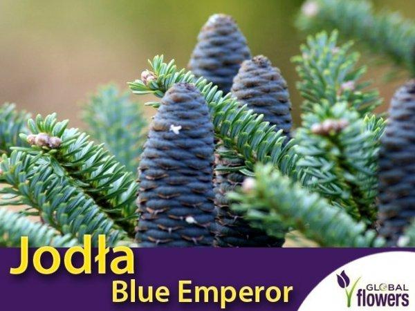 Jodła Koreańska 'Blue Emperor' (Abies koreana) Sadzonka szczepiona