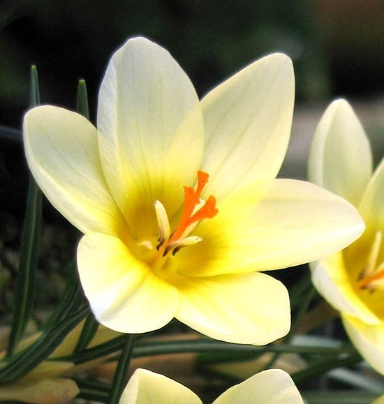 Krokus 'Cream Beauty' (Crocus) CEBULKI