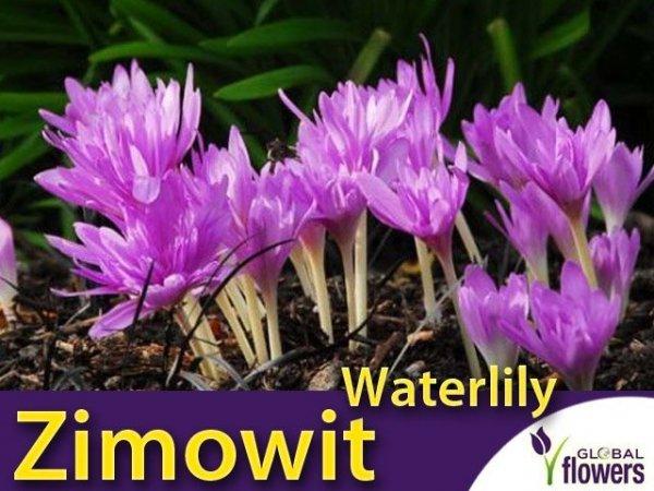 Zimowit pełny Waterlily (Colchicum) CEBULKA