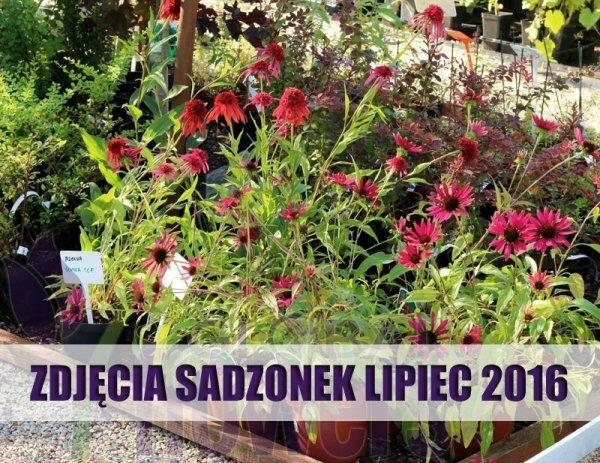 Echinacea duże sadzonki sklep wysyłkowy