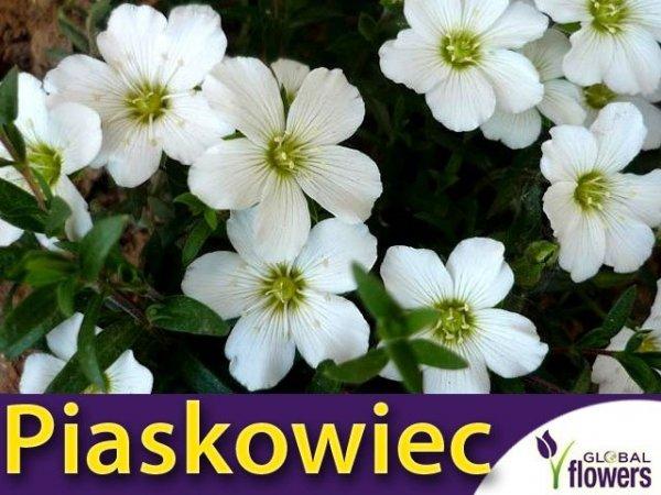 Piaskowiec biały (Arenaria montana) nasina