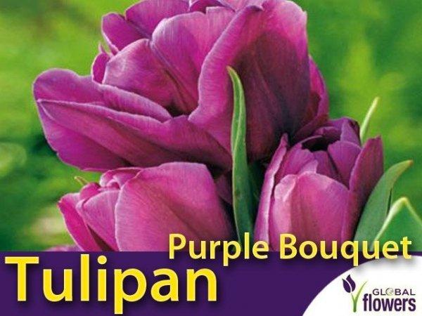 Tulipan Wielokwiatowy 'Purple Bouquet' (Tulipa) CEBULKI