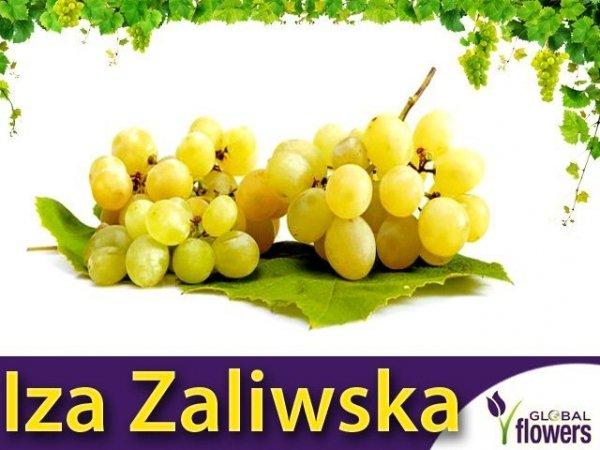 Winorośl Iza Zaliwska Sadzonka - odmiana deserowa Vitis 'Iza Zaliwska'
