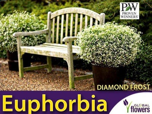 Euphorbia 'Diamond Frost' Sadzonka