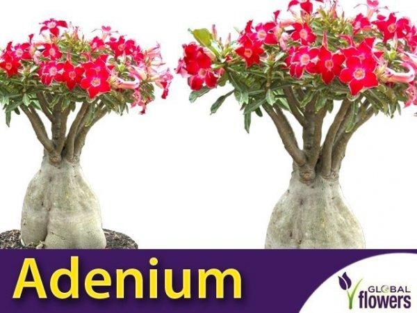 Adenium Mini Baobab - Róża Pustyni (Adenium Obesum)