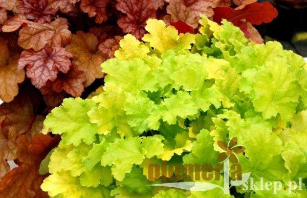 Żurawka o jasno zielonych liściach