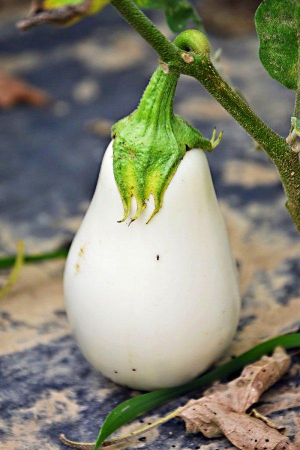 Oberżyna Bakłażan White Egg (Solanum melongena) 0,5g LUX