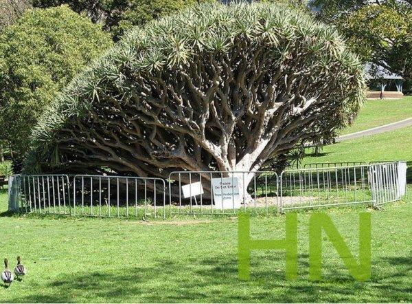 Smocze Drzewo (Dracena Draco)