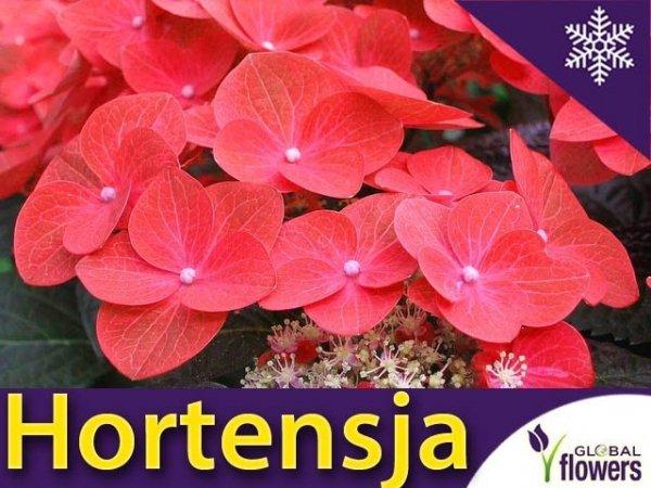 Hortensja ogrodowa 'Red Baron' (Hydrangea macrophylla) Sadzonka
