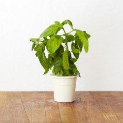 Kapsułki roślinne 3-pak Bazylia
