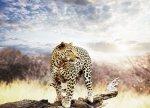 Fototapeta na ścianę - Leopard - 320x230 cm