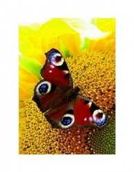 Motyl - reprodukcja
