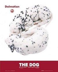 Psy (dalmateńczyk) - plakat