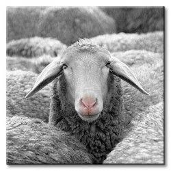 Obraz do sypialni - Owca - 40x40 cm