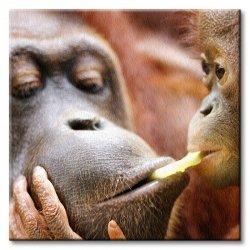 Obraz do salonu - Małpki (Orangutany) - 40x40 cm