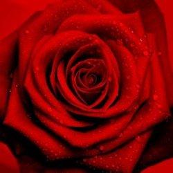 Red Rose - reprodukcja