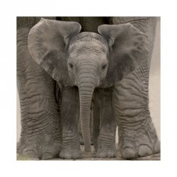 Wielkie uszy (Małe Słoniątko) - reprodukcja