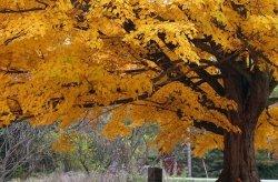 Fototapeta na ścianę - Drzewo, jesienne barwy - 175x115 cm
