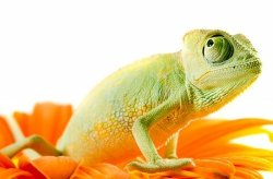 Fototapeta ścienna - Kameleon na kwiatku - 175x115 cm