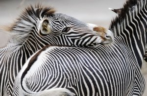 Fototapeta ścienna - Zebra - 175x115 cm