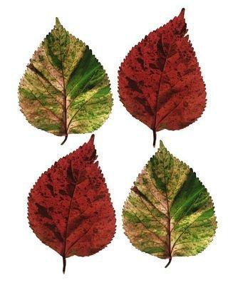 Four Leaves I - reprodukcja