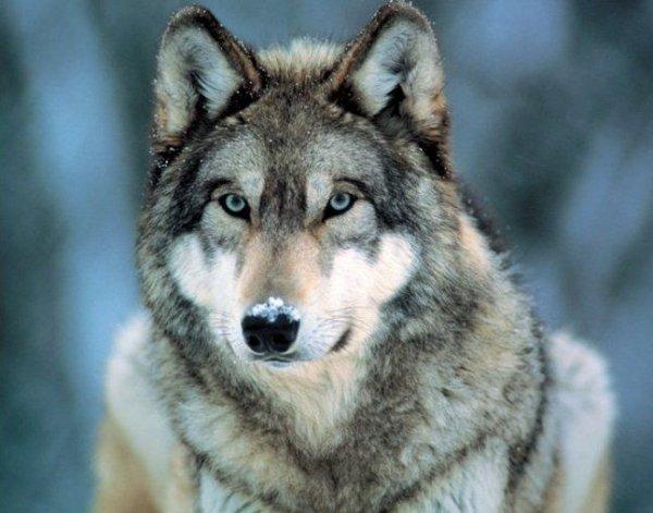 Szary wilk - plakat
